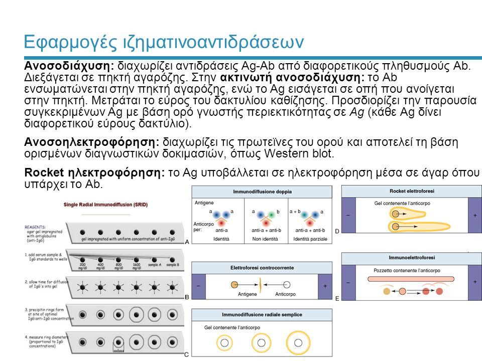 29 Εφαρμογές ιζηματινοαντιδράσεων Ανοσοδιάχυση: διαχωρίζει αντιδράσεις Ag-Ab από διαφορετικούς πληθυσμούς Ab. Διεξάγεται σε πηκτή αγαρόζης. Στην ακτιν