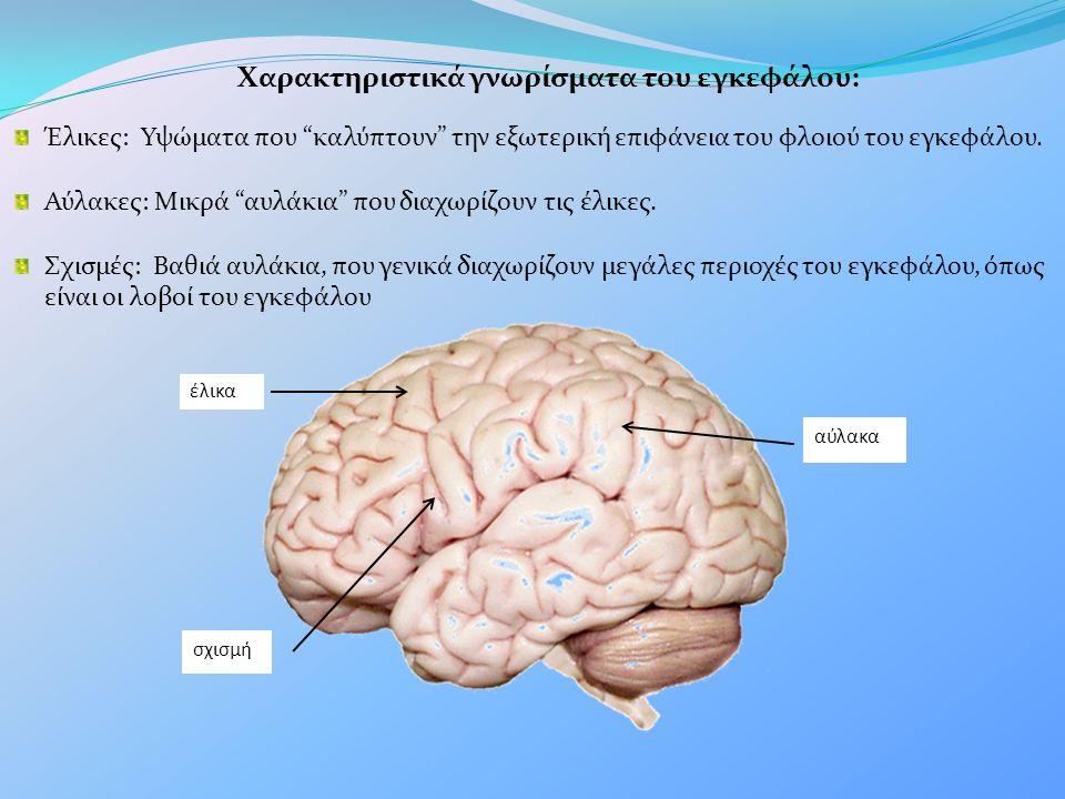 """Χαρακτηριστικά γνωρίσματα του εγκεφάλου: Έλικες: Υψώματα που """"καλύπτουν"""" την εξωτερική επιφάνεια του φλοιού του εγκεφάλου. Αύλακες: Μικρά """"αυλάκια"""" πο"""