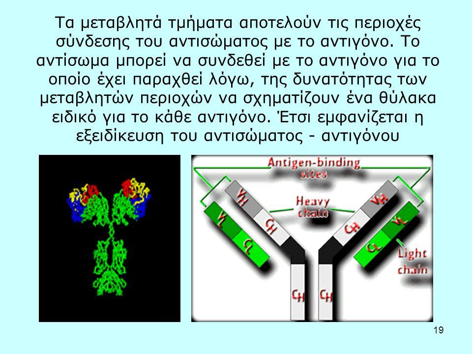 19 Τα μεταβλητά τμήματα αποτελούν τις περιοχές σύνδεσης του αντισώματος με το αντιγόνο. Το αντίσωμα μπορεί να συνδεθεί με το αντιγόνο για το οποίο έχε