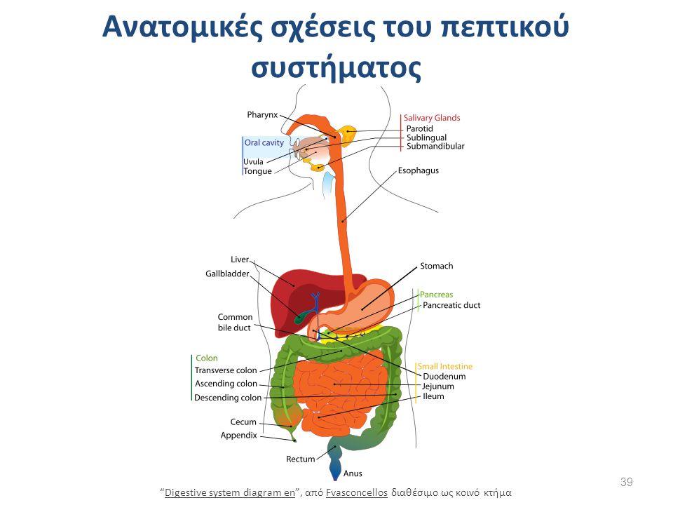Ανατομικές σχέσεις του πεπτικού συστήματος 39 Digestive system diagram en , από Fvasconcellos διαθέσιμο ως κοινό κτήμαDigestive system diagram enFvasconcellos
