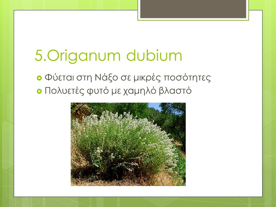 5.Origanum dubium  Φύεται στη Νάξο σε μικρές ποσότητες  Πολυετές φυτό με χαμηλό βλαστό