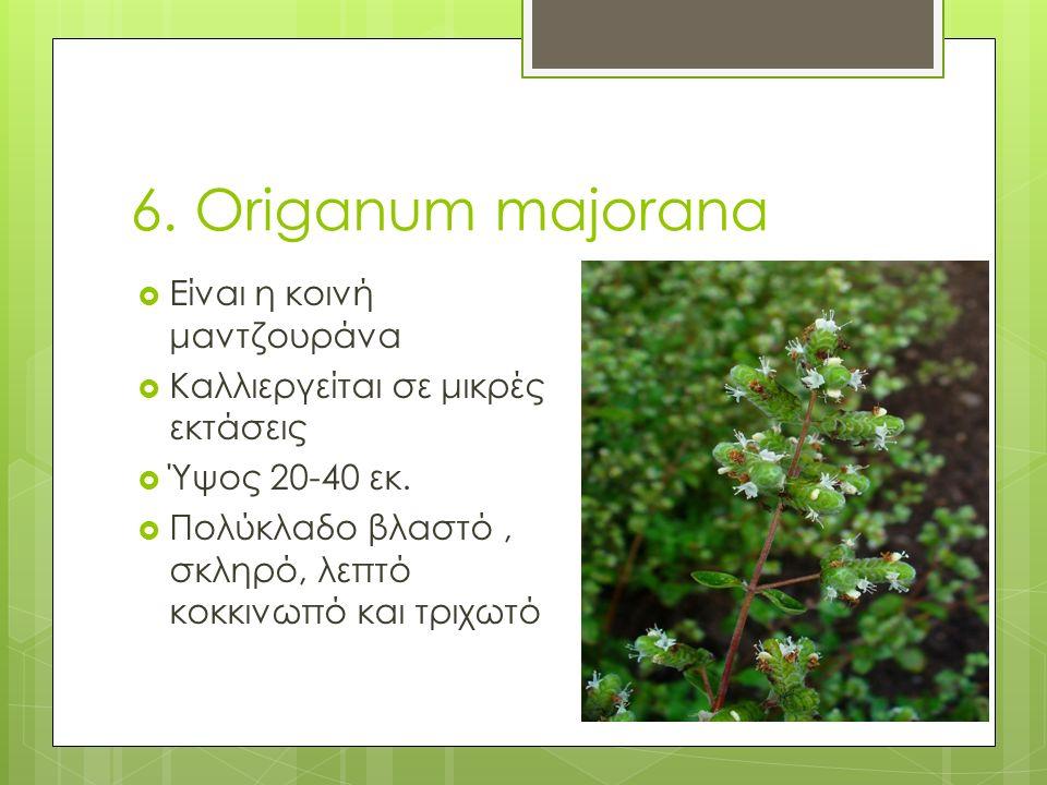 6. Origanum majorana  Είναι η κοινή μαντζουράνα  Καλλιεργείται σε μικρές εκτάσεις  Ύψος 20-40 εκ.  Πολύκλαδο βλαστό, σκληρό, λεπτό κοκκινωπό και τ