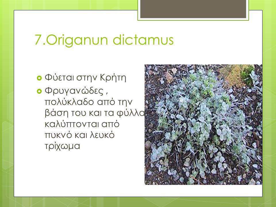 7.Origanun dictamus  Φύεται στην Κρήτη  Φρυγανώδες, πολύκλαδο από την βάση του και τα φύλλα καλύπτονται από πυκνό και λευκό τρίχωμα