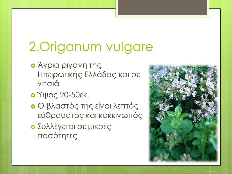2.Origanum vulgare  Άγρια ριγανη της Ηπειρωτικής Ελλάδας και σε νησιά  Ύψος 20-50εκ.  Ο βλαστός της είναι λεπτός εύθραυστος και κοκκινωπός  Συλλέγ