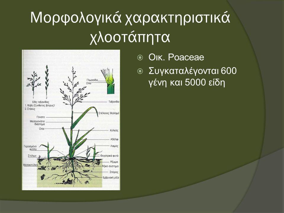 Μορφολογικά χαρακτηριστικά χλοοτάπητα  Οικ. Poaceae  Συγκαταλέγονται 600 γένη και 5000 είδη