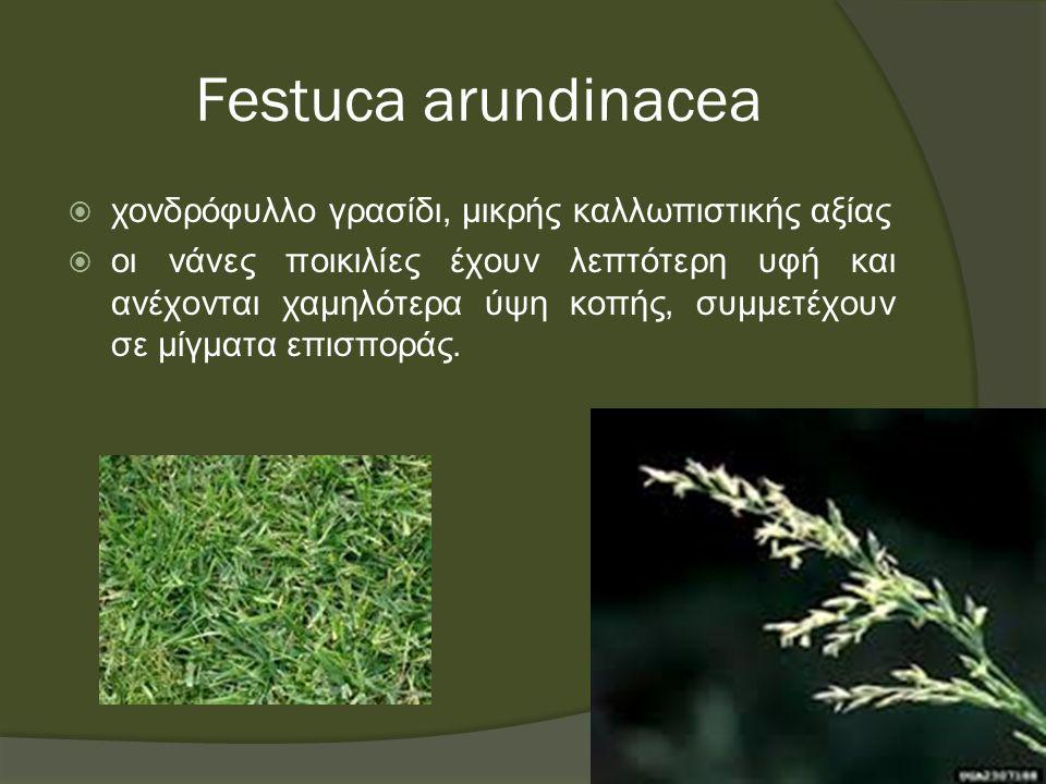 Festuca arundinacea  χονδρόφυλλο γρασίδι, μικρής καλλωπιστικής αξίας  οι νάνες ποικιλίες έχουν λεπτότερη υφή και ανέχονται χαμηλότερα ύψη κοπής, συμμετέχουν σε μίγματα επισποράς.