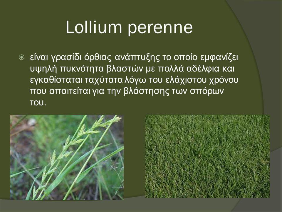 Lollium perenne  είναι γρασίδι όρθιας ανάπτυξης το οποίο εμφανίζει υψηλή πυκνότητα βλαστών με πολλά αδέλφια και εγκαθίσταται ταχύτατα λόγω του ελάχιστου χρόνου που απαιτείται για την βλάστησης των σπόρων του.