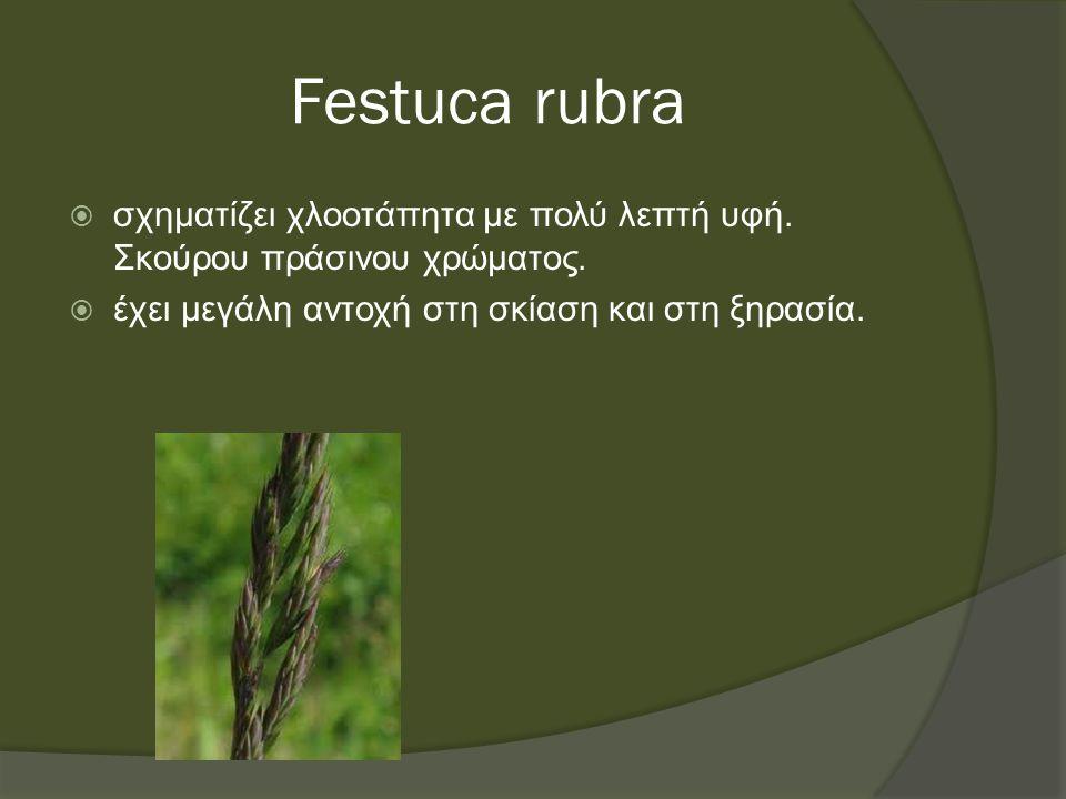 Festuca rubra  σχηματίζει χλοοτάπητα με πολύ λεπτή υφή.