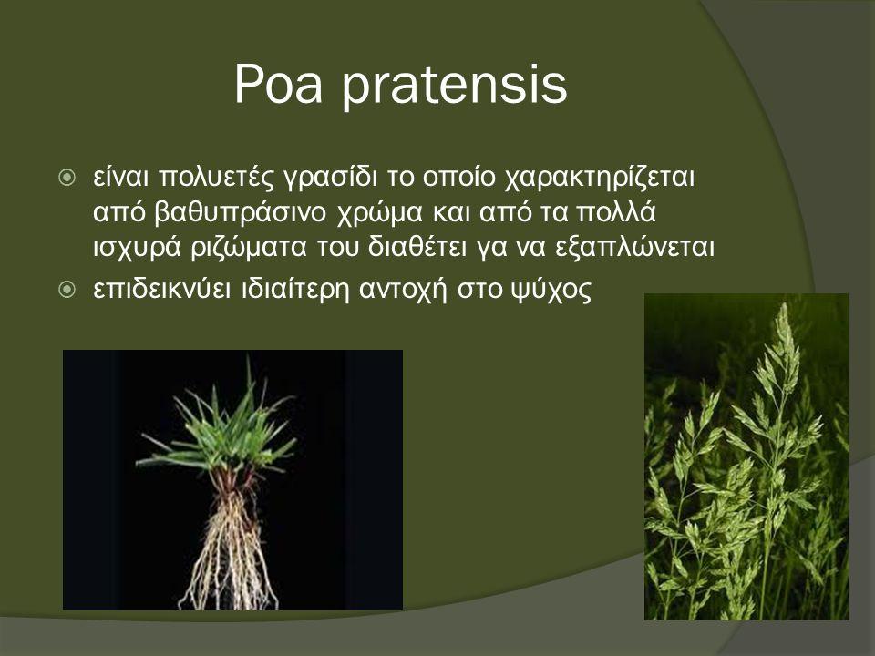 Poa pratensis  είναι πολυετές γρασίδι το οποίο χαρακτηρίζεται από βαθυπράσινο χρώμα και από τα πολλά ισχυρά ριζώματα του διαθέτει γα να εξαπλώνεται  επιδεικνύει ιδιαίτερη αντοχή στο ψύχος