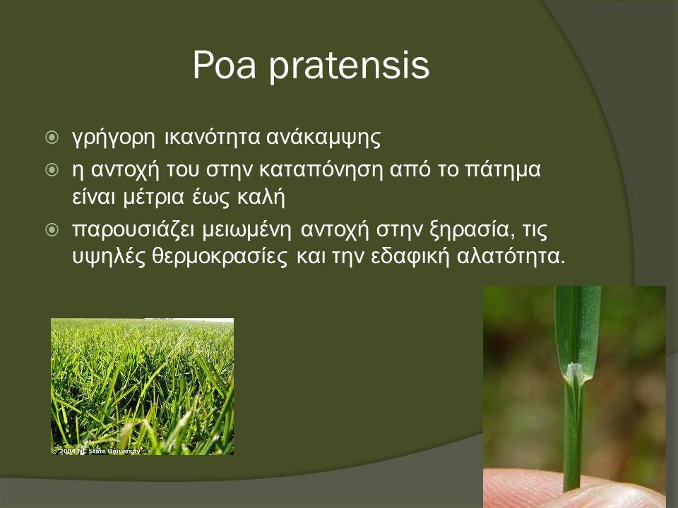 Poa pratensis  γρήγορη ικανότητα ανάκαμψης  η αντοχή του στην καταπόνηση από το πάτημα είναι μέτρια έως καλή  παρουσιάζει μειωμένη αντοχή στην ξηρασία, τις υψηλές θερμοκρασίες και την εδαφική αλατότητα.