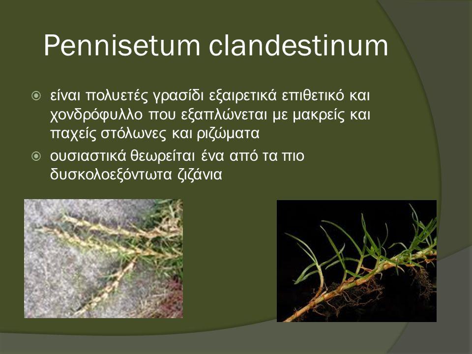 Pennisetum clandestinum  είναι πολυετές γρασίδι εξαιρετικά επιθετικό και χονδρόφυλλο που εξαπλώνεται με μακρείς και παχείς στόλωνες και ριζώματα  ουσιαστικά θεωρείται ένα από τα πιο δυσκολοεξόντωτα ζιζάνια