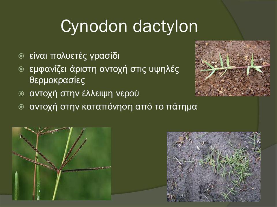 Cynodon dactylon  είναι πολυετές γρασίδι  εμφανίζει άριστη αντοχή στις υψηλές θερμοκρασίες  αντοχή στην έλλειψη νερού  αντοχή στην καταπόνηση από το πάτημα