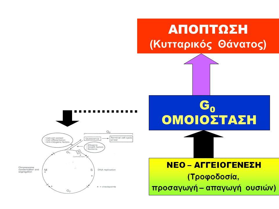 ΑΠΟΠΤΩΣΗ (Κυτταρικός Θάνατος) G 0 ΟΜΟΙΟΣΤΑΣΗ ΝΕΟ – ΑΓΓΕΙΟΓΕΝΕΣΗ (Τροφοδοσία, προσαγωγή – απαγωγή ουσιών)