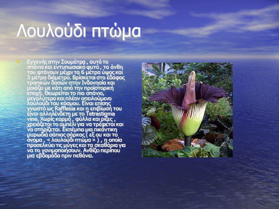 Λουλούδι πτώμα Εγγενής στην Σουμάτρα, αυτό το σπάνιο και εντυπωσιακό φυτό, τα άνθη του φτάνουν μέχρι τα 6 μέτρα ύψος και 3 μέτρα διάμετρο. Βρίσκεται σ