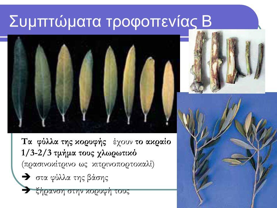 Συμπτώματα τροφοπενίας Β Τα φύλλα της κορυφής έχουν το ακραίο 1/3-2/3 τμήμα τους χλωρωτικό (πρασινοκίτρινο ως κιτρινοπορτοκαλί)  στα φύλλα της βάσης  ξήρανση στην κορυφή τους