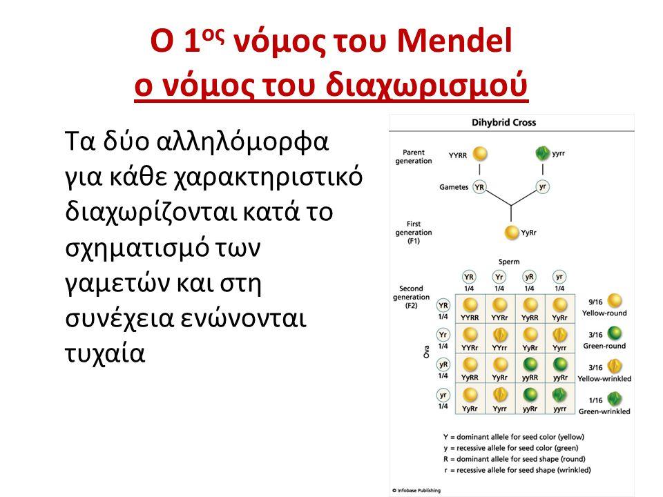 Ο 1 ος νόμος του Mendel ο νόμος του διαχωρισμού Τα δύο αλληλόμορφα για κάθε χαρακτηριστικό διαχωρίζονται κατά το σχηματισμό των γαμετών και στη συνέχεια ενώνονται τυχαία