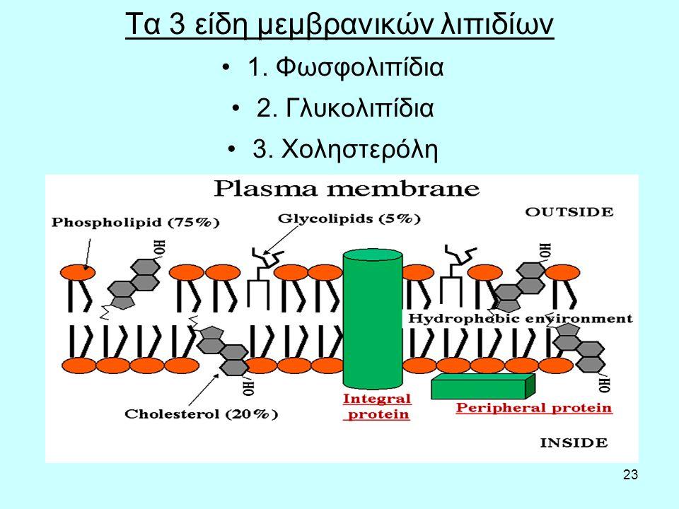 23 Τα 3 είδη μεμβρανικών λιπιδίων 1. Φωσφολιπίδια 2. Γλυκολιπίδια 3. Χοληστερόλη