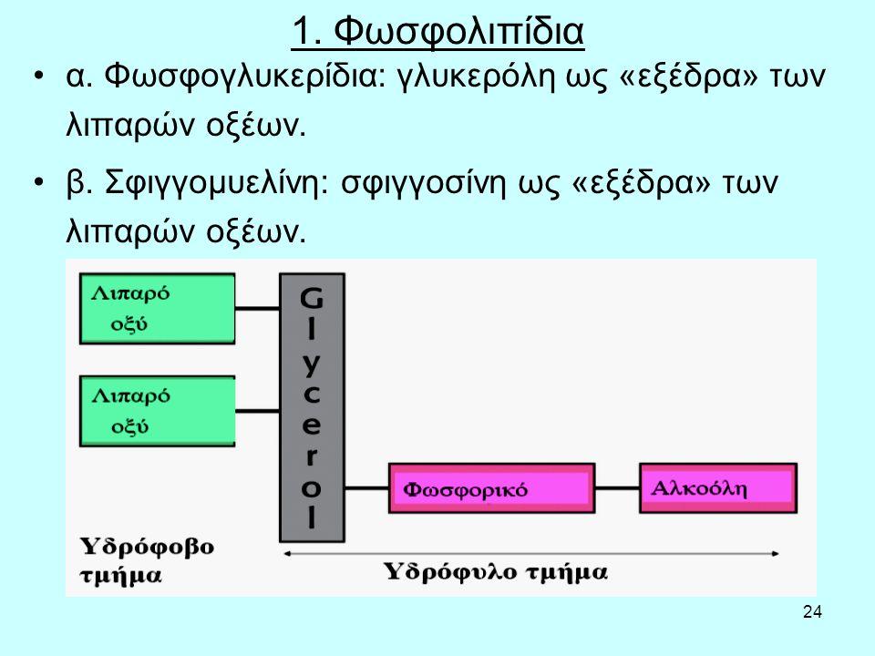 24 1. Φωσφολιπίδια α. Φωσφογλυκερίδια: γλυκερόλη ως «εξέδρα» των λιπαρών οξέων. β. Σφιγγομυελίνη: σφιγγοσίνη ως «εξέδρα» των λιπαρών οξέων.