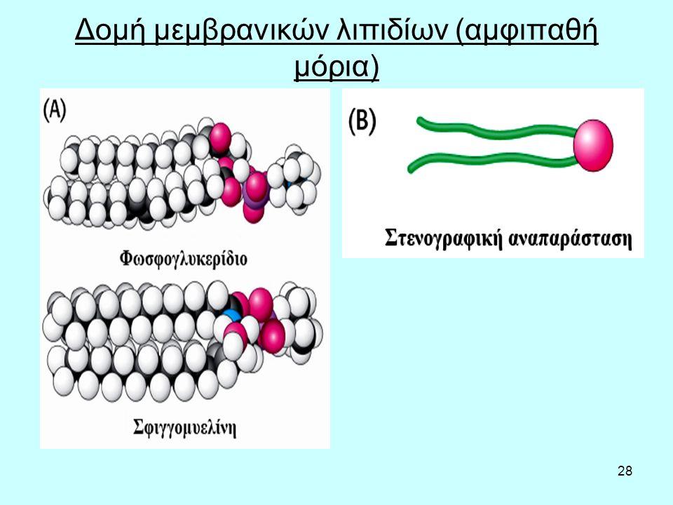 28 Δομή μεμβρανικών λιπιδίων (αμφιπαθή μόρια)