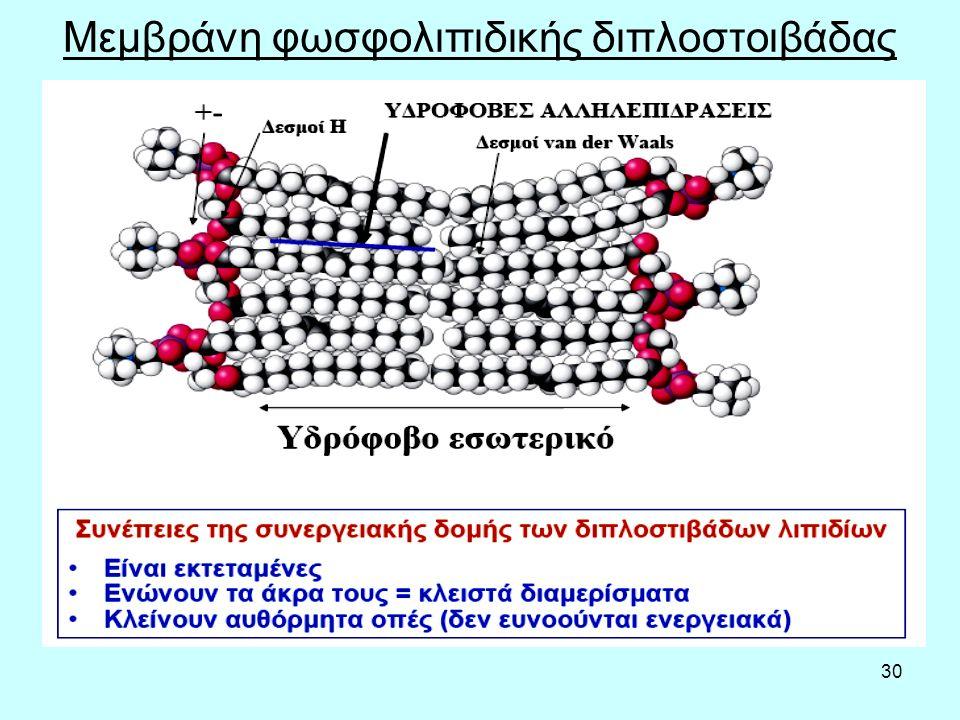 30 Μεμβράνη φωσφολιπιδικής διπλοστοιβάδας