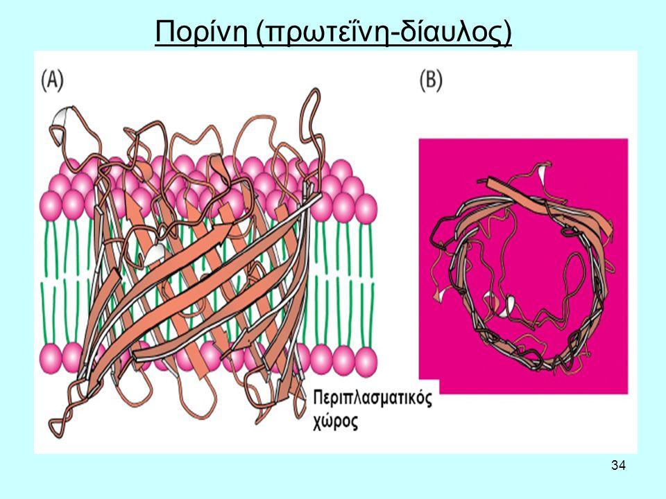 34 Πορίνη (πρωτεΐνη-δίαυλος)