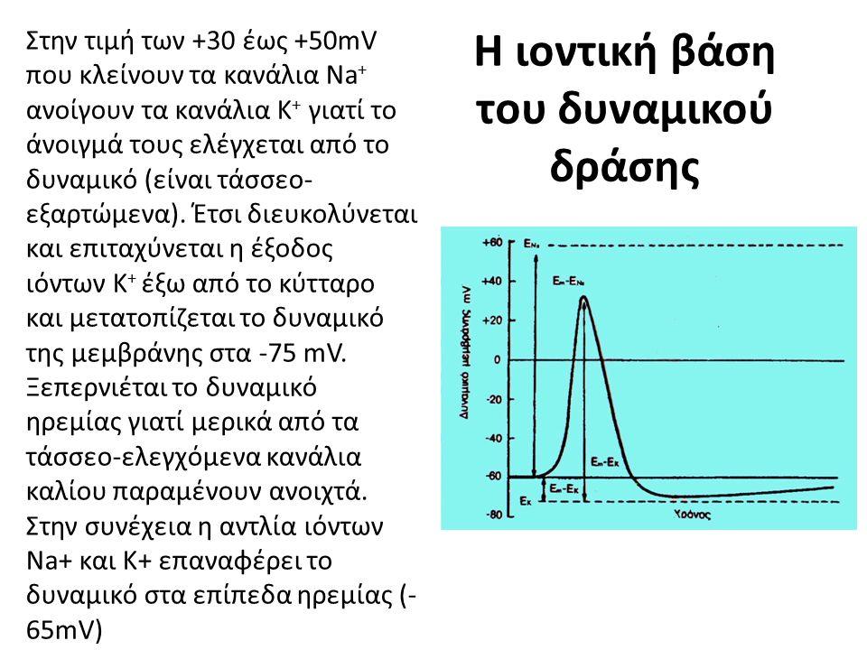 Η ιοντική βάση του δυναμικού δράσης Στην τιμή των +30 έως +50mV που κλείνουν τα κανάλια Na + ανοίγουν τα κανάλια Κ + γιατί το άνοιγμά τους ελέγχεται α