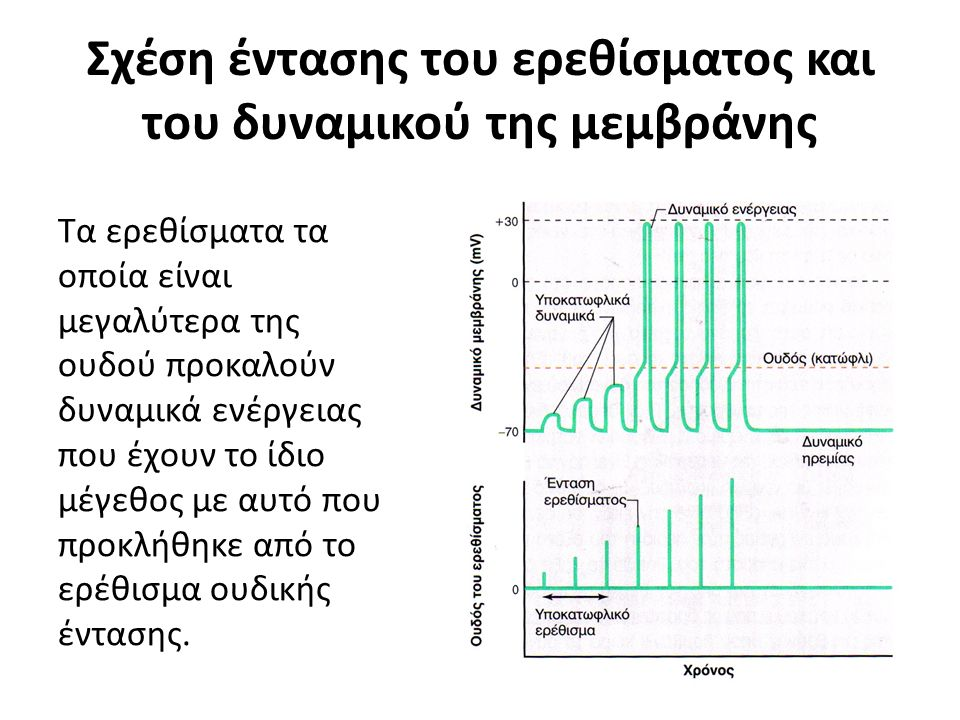 Σχέση έντασης του ερεθίσματος και του δυναμικού της μεμβράνης Τα ερεθίσματα τα οποία είναι μεγαλύτερα της ουδού προκαλούν δυναμικά ενέργειας που έχουν το ίδιο μέγεθος με αυτό που προκλήθηκε από το ερέθισμα ουδικής έντασης.