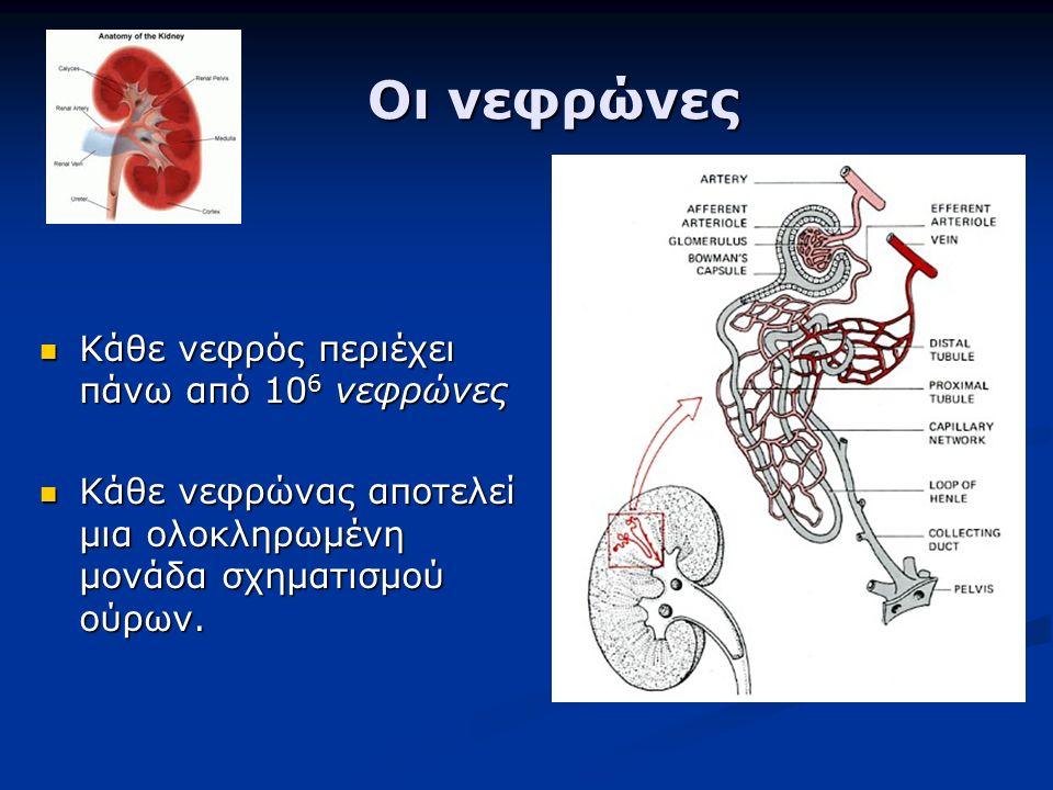Οι νεφρώνες Οι νεφρώνες Κάθε νεφρός περιέχει πάνω από 10 6 νεφρώνες Κάθε νεφρός περιέχει πάνω από 10 6 νεφρώνες Κάθε νεφρώνας αποτελεί μια ολοκληρωμένη μονάδα σχηματισμού ούρων.