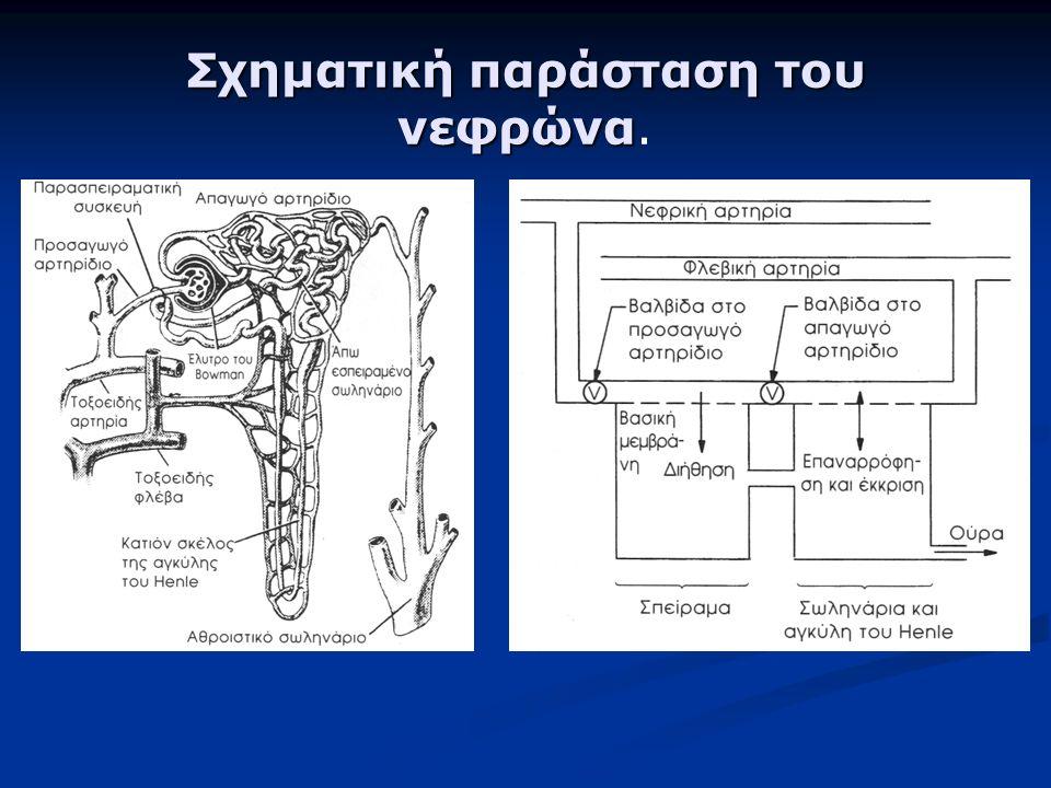 Σχηματική παράσταση του νεφρώνα Σχηματική παράσταση του νεφρώνα.