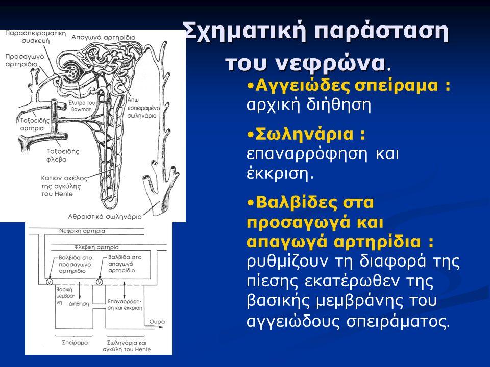 Αγγειώδες σπείραμα : αρχική διήθηση Σωληνάρια : επαναρρόφηση και έκκριση. Βαλβίδες στα προσαγωγά και απαγωγά αρτηρίδια : ρυθμίζουν τη διαφορά της πίεσ