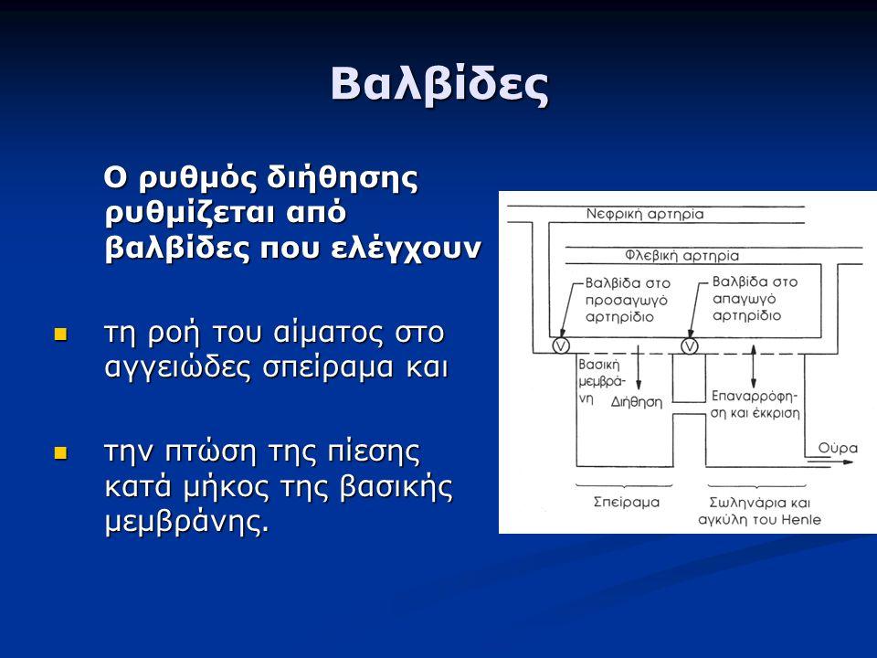 Βαλβίδες Ο ρυθμός διήθησης ρυθμίζεται από βαλβίδες που ελέγχουν Ο ρυθμός διήθησης ρυθμίζεται από βαλβίδες που ελέγχουν τη ροή του αίματος στο αγγειώδες σπείραμα και τη ροή του αίματος στο αγγειώδες σπείραμα και την πτώση της πίεσης κατά μήκος της βασικής μεμβράνης.
