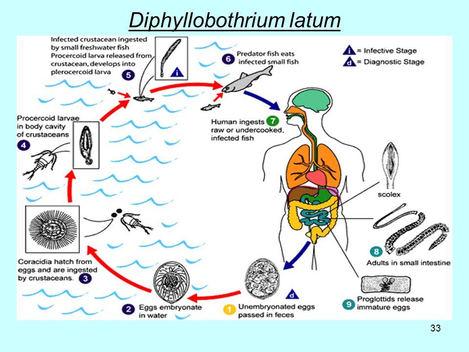 33 Diphyllobothrium latum