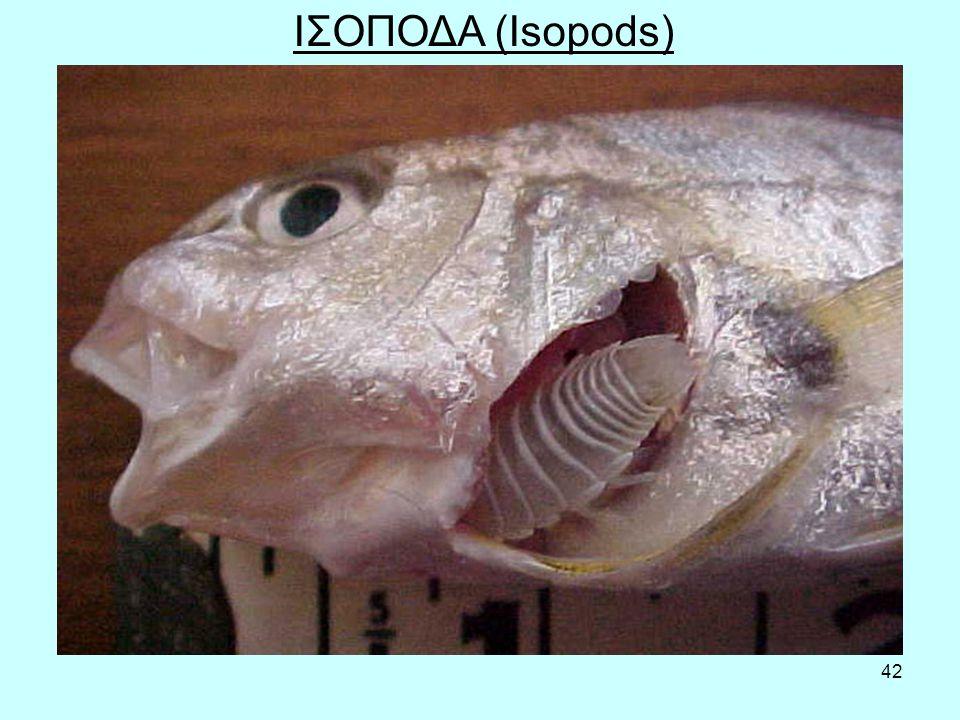42 ΙΣΟΠΟΔΑ (Isopods)