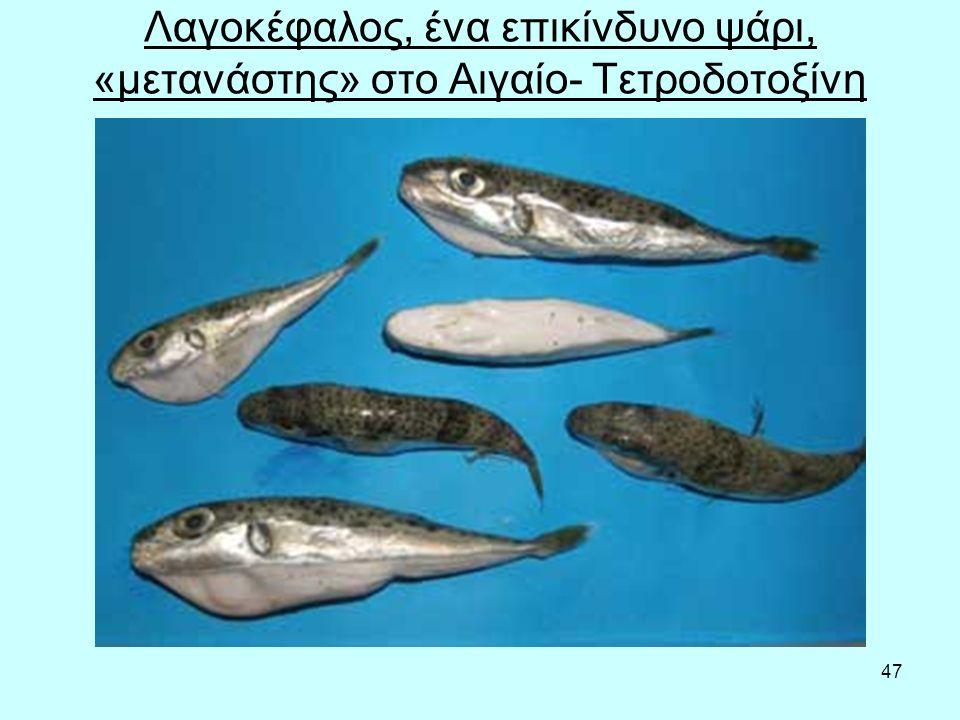 47 Λαγοκέφαλος, ένα επικίνδυνο ψάρι, «μετανάστης» στο Αιγαίο- Τετροδοτοξίνη
