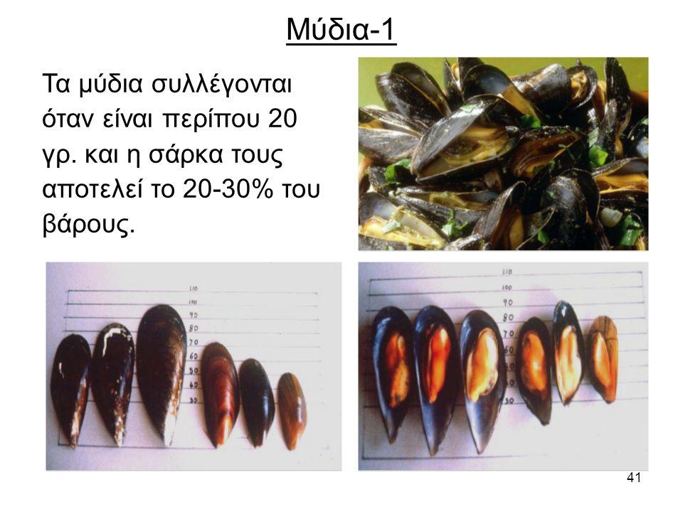 41 Μύδια-1 Τα μύδια συλλέγονται όταν είναι περίπου 20 γρ.