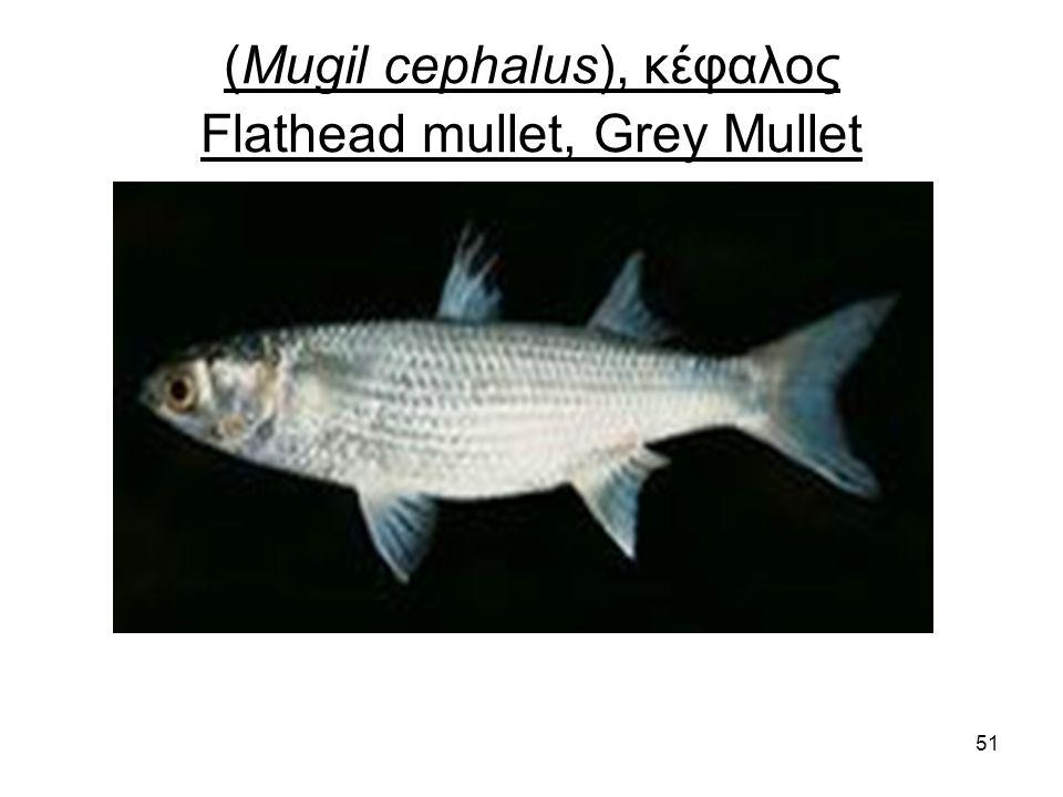 51 (Mugil cephalus), κέφαλος Flathead mullet, Grey Mullet