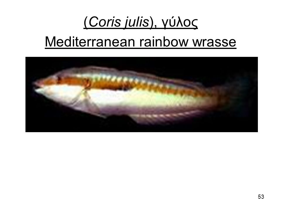 53 (Coris julis), γύλος Mediterranean rainbow wrasse
