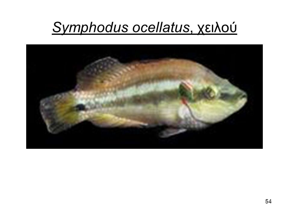 54 Symphodus ocellatus, χειλού