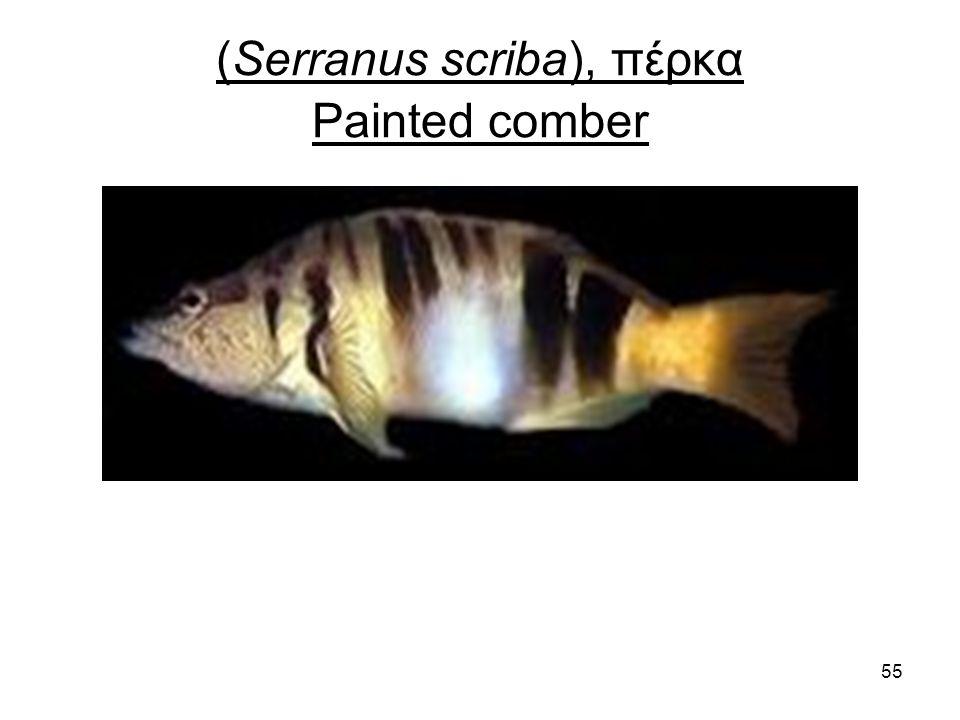 55 (Serranus scriba), πέρκα Painted comber