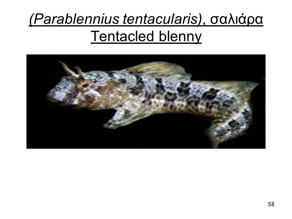 58 (Parablennius tentacularis), σαλιάρα Tentacled blenny