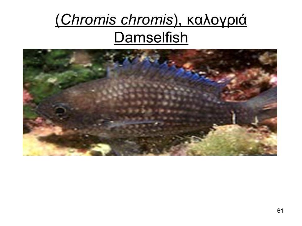 61 (Chromis chromis), καλογριά Damselfish