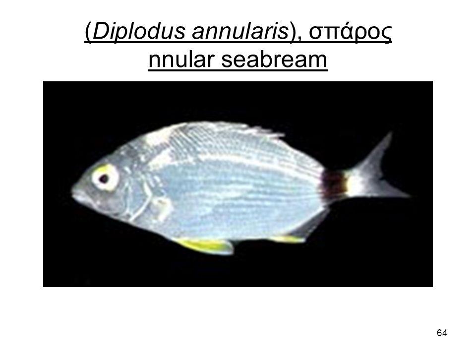 64 (Diplodus annularis), σπάρος nnular seabream