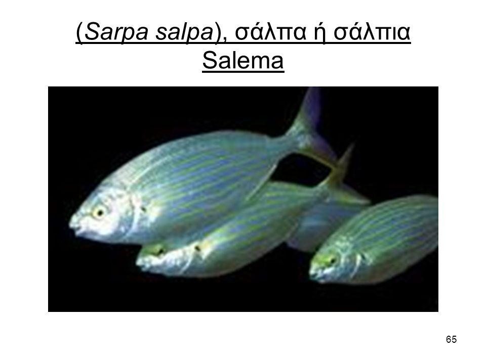 65 (Sarpa salpa), σάλπα ή σάλπια Salema