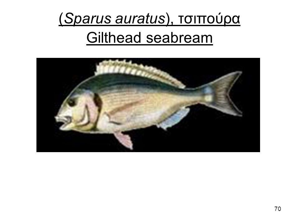 70 (Sparus auratus), τσιπούρα Gilthead seabream