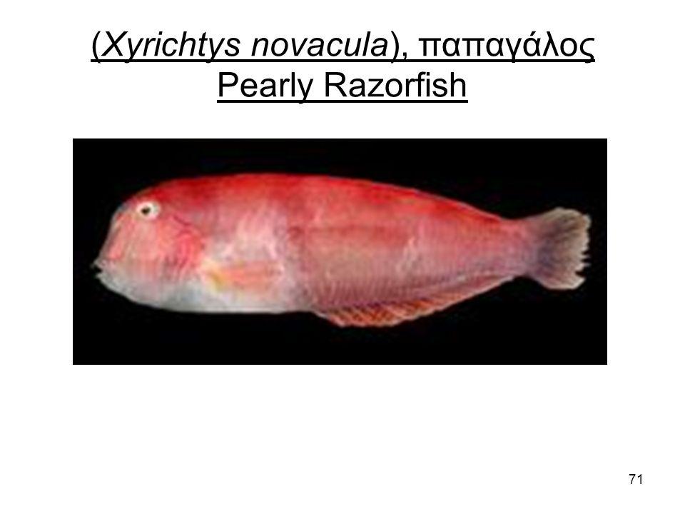 71 (Xyrichtys novacula), παπαγάλος Pearly Razorfish