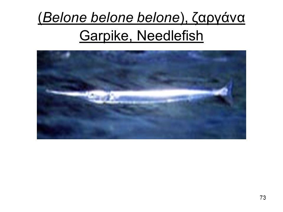 73 (Belone belone belone), ζαργάνα Garpike, Needlefish