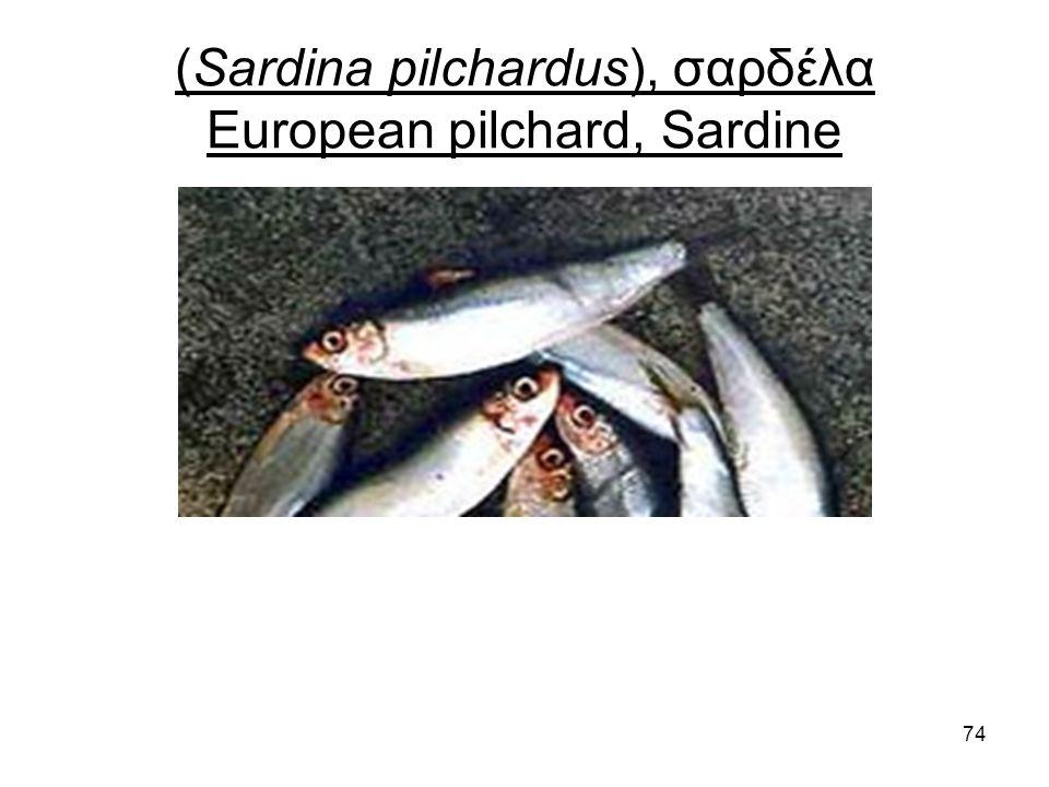 74 (Sardina pilchardus), σαρδέλα European pilchard, Sardine