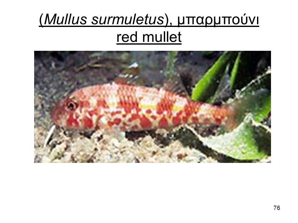 76 (Mullus surmuletus), μπαρμπούνι red mullet