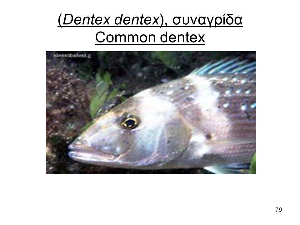 79 (Dentex dentex), συναγρίδα Common dentex