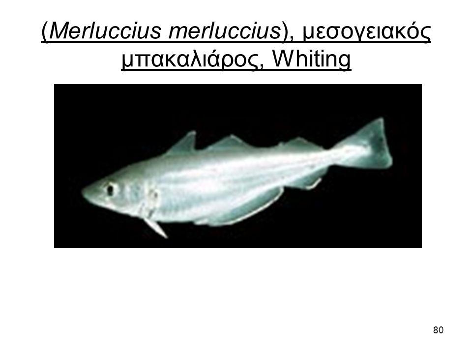 80 (Merluccius merluccius), μεσογειακός μπακαλιάρος, Whiting